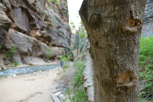 Tree Face Zion Narrows